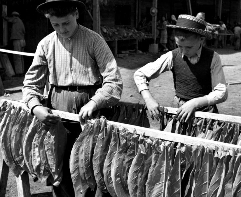 La culture du Tabac en Valais